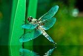 Dragonfly — Stok fotoğraf