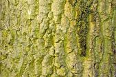 Bark on the old oak — Stock Photo