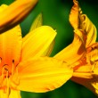 Fine yellow lilies — Stock Photo
