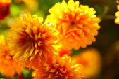 A chrysanthemum — Stock Photo