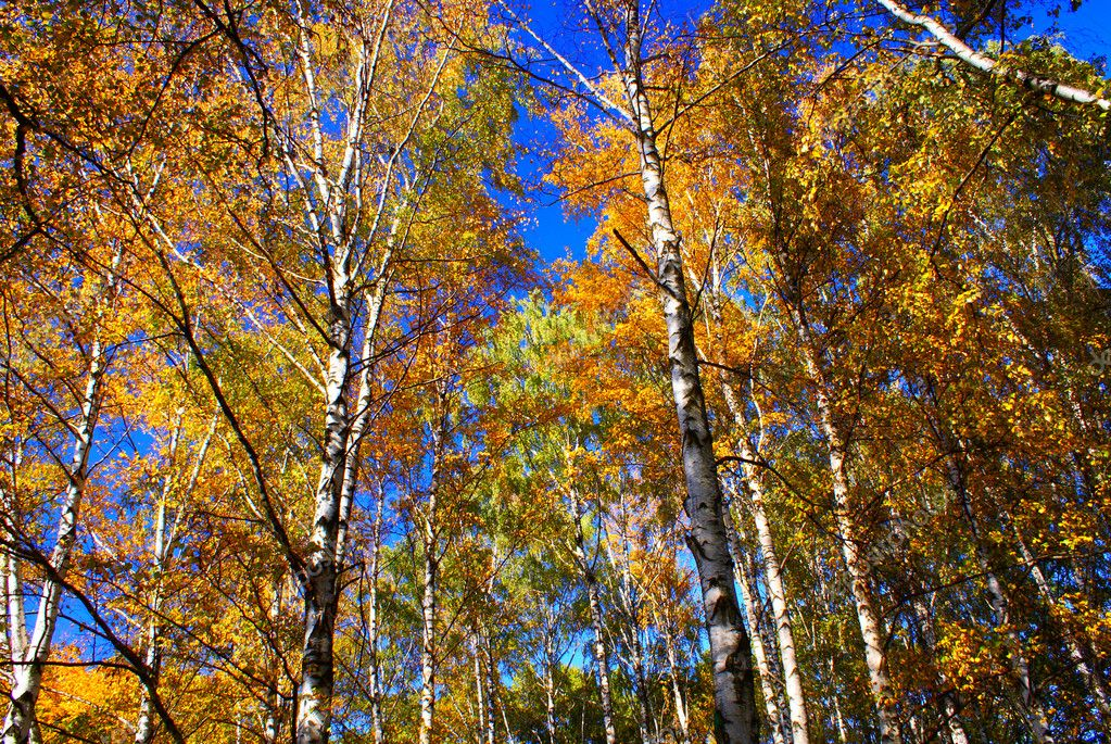 Birch wood and the sky  Stock Photo #1932709