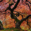 Japanese Maple Tree - Stock Photo