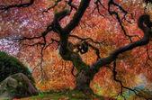 Drzewo klon japoński — Zdjęcie stockowe