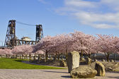 Cherry Blossom Blooming at Spring Time — Stock Photo