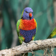 Colorful red blue green bird — Stock Photo #2034809