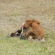 Foal laying down — Stock Photo