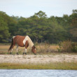 Stock Photo: Wild assateague pony