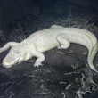 Albino alligator — Stock Photo #2037641