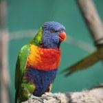 Lorikeet bird on a branch — Stock Photo #2037667