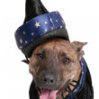 Wizard dog — Stock Photo