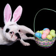 Royalty-Free Stock Photo: Easter bulldog