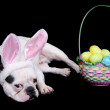 Easter bulldog — Stock Photo