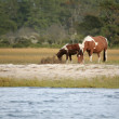 Wild Assateague ponies — Stock Photo