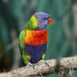 Lorikeet bird on a branch - Stock Photo