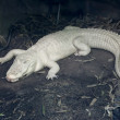 Albino alligator — Stock Photo