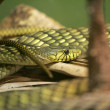 Green snake closeup — Stock Photo