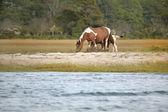 Pony grazing — Stock Photo