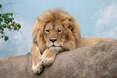 King of beasts relaxing — Stock Photo
