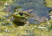 Green frog swimming — Stock Photo