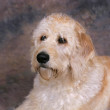 Stock Photo: Labradoodle portrait