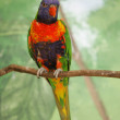 Royalty-Free Stock Photo: Colorful lorikeet bird