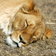 Royalty-Free Stock Photo: Let sleeping lions