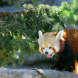 Climbing red panda - Stock Photo