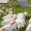 weiße Hühner — Stockfoto