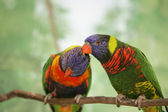 Two lorikeet lovebirds — Stock Photo