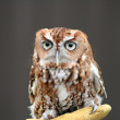 Brown pygmy owl — Stock Photo