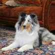 Sheltie indoors — Stock Photo
