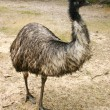 Royalty-Free Stock Photo: Adult emu (Dromaius novaehollandiae)