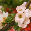 Pink blooms of flowering quince — Stock Photo