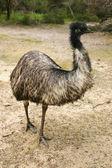 Adult emu (Dromaius novaehollandiae) — Stock Photo
