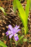 Iris cristata and pine cone vertical — Stock Photo