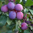 Purple fruits of a Stanley prune plum - Stock Photo