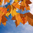 Orange and yellow leaves of sugar maple - Stockfoto