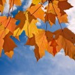 Orange and yellow leaves of sugar maple - Stock Photo