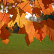 Foto Stock: Orange and yellow leaves of sugar maple
