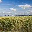 Ripening field of wheat in Indiana — Stok Fotoğraf #2635153