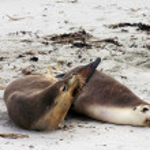 Pair of Australian sea lion friends — Stock Photo