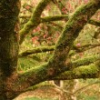 Moss-covered tree branches — Stock Photo