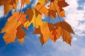 Naranja y amarillo hojas de arce — Foto de Stock