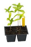 Homegrown seedlings of zinnia — Stock Photo