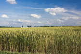 Ripening field of wheat in Indiana — Stock Photo