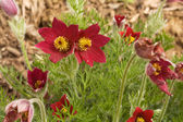 Red flowers of a pasqueflower hybrid — Stock Photo