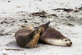 Pair of Australian sea lion friends — Stock Photo