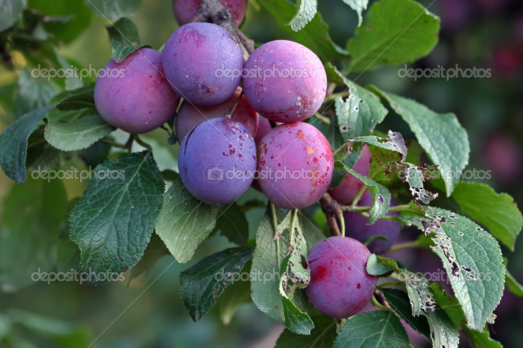 Purple fruits of a Stanley prune plum (Prunus domestica) ripen in the late summer sun on a tree in a home orchard — Stock Photo #2635093