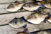 Gray trigger fish (Balistes capriscus) — Stock Photo
