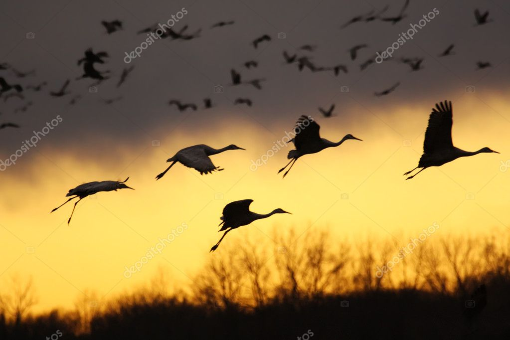 Migrating sandhill cranes (Grus canadensis) come for a landing at sunset in the Jasper-Pulaski Fish and Wildlife Area near Medaryville, Indiana — Stock Photo #2658987